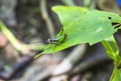 在叶子的蚂蚱 免版税图库摄影