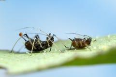 在叶子的蚜虫 库存照片