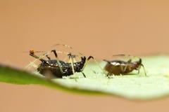 在叶子的蚜虫 免版税库存图片