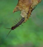 在叶子的蜈蚣 免版税图库摄影