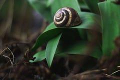 在叶子的蜗牛 免版税图库摄影