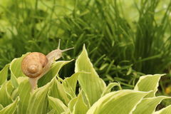 在叶子的蜗牛 库存图片
