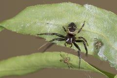 在叶子的蜘蛛家庭 库存图片