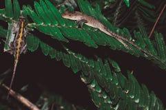 在叶子的蜥蜴夫妇 图库摄影