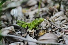 在叶子的蜥蜴 免版税库存图片