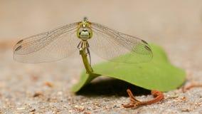 在叶子的蜻蜓 图库摄影