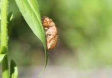 在叶子的蝉壳 免版税库存照片