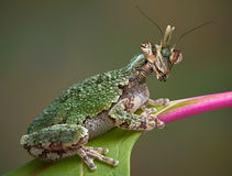 在叶子的螳螂青蛙 库存照片