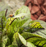 在叶子的被察觉的芦笋甲虫 图库摄影