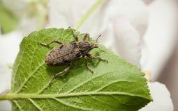 在叶子的象鼻虫在果树园 免版税图库摄影