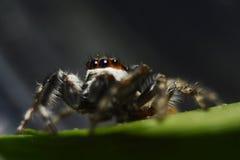 在叶子的跳的蜘蛛 免版税图库摄影