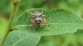 在叶子的跳跃的蜘蛛在热带雨林里 股票视频