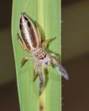 在叶子的跳跃的蜘蛛 免版税库存图片