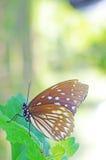 在叶子的野生蝴蝶 库存图片