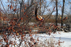 在叶子的野鸡 图库摄影
