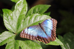 在叶子的金属蓝色蝴蝶 免版税库存照片