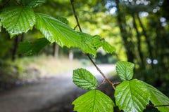 在叶子的雨小滴 免版税库存照片