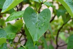 在叶子的雨珠 免版税库存图片