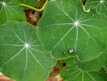 在叶子的雨珠 免版税库存照片