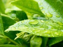 在叶子的雨 库存图片