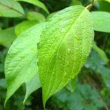 在叶子的雨 免版税库存照片