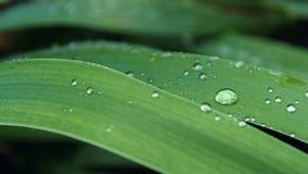 在叶子的露水在软的焦点 浅深度的域 图库摄影