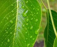 在叶子的露水,宏观摄影 免版税库存照片