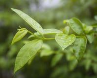 在叶子的露水 免版税库存图片