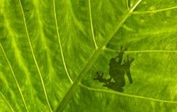 在叶子的青蛙阴影 库存照片