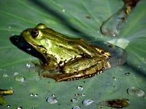 在叶子的青蛙 免版税库存照片