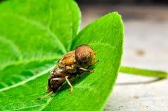 在叶子的青蝇 免版税库存照片