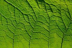 在叶子的静脉样式 免版税库存图片