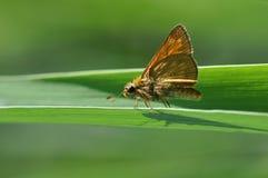 在叶子的飞蛾蝴蝶 免版税库存图片