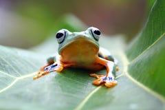 在叶子的飞行的青蛙,javan雨蛙,雨蛙 图库摄影
