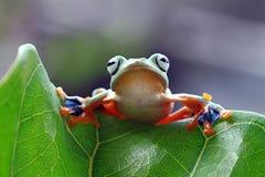 在叶子的飞行的青蛙,javan雨蛙,雨蛙 库存照片