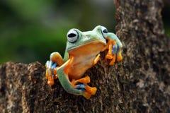 在叶子的飞行的青蛙,javan雨蛙,雨蛙 库存图片