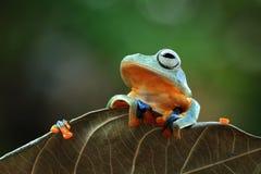 在叶子的飞行的青蛙,javan雨蛙,雨蛙 免版税图库摄影