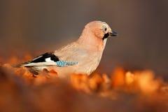在叶子的鸟 在秋天期间,鸟欧亚混血人杰伊, Garrulus glandarius画象,与橙色跌倒叶子和早晨太阳 de 免版税库存照片
