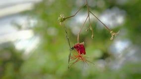 在叶子的黑白蝴蝶 坐的蝴蝶特写镜头在绿色植物的 影视素材