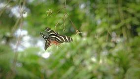 在叶子的黑白蝴蝶 坐的蝴蝶特写镜头在绿色植物的 股票视频