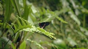 在叶子的黑白蝴蝶 坐的蝴蝶特写镜头在绿色植物的 股票录像