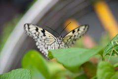在叶子的黑&白色蝴蝶 库存图片