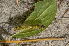 在叶子的黑和黄色镶边毛虫 库存照片
