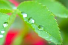在叶子的水小珠 免版税库存照片