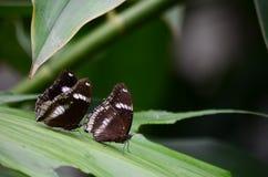 在叶子的黑暗的蝴蝶桃子 免版税库存照片
