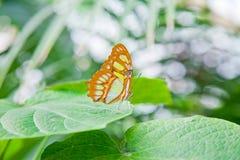 在叶子的绿沸铜蝴蝶 库存图片