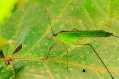 在叶子的绿色蚂蚱在庭院里 免版税图库摄影