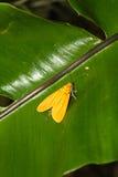 在叶子的黄色飞蛾 库存图片