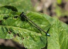 在叶子的绿色蜻蜓着陆 免版税库存照片