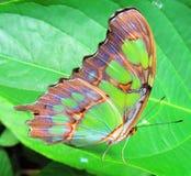 在叶子的绿色蝴蝶 免版税库存图片